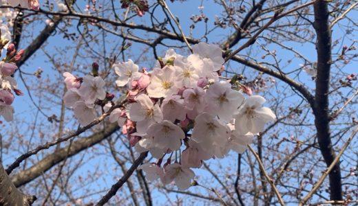 【活動日記】舞鶴公園の福岡城さくらまつりで桜を堪能(2019.03.27)